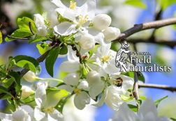Apple Blossums and Bee, By - Bee Campbell-Stevens