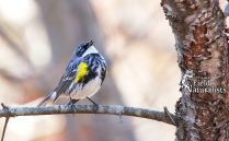 Yellow-Rumped Warbler, By - Sandy Thompson