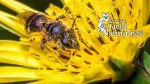 Wasp in Flower, By - Bert Minor