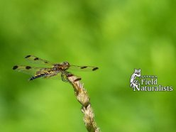 Calico Pennant, by - Denise Therriault