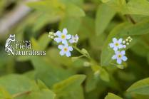 Forget-me-not, By - John Cree