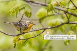Blackburnian Warbler - By, Norbert Haché