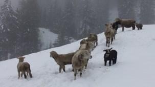 Die Schafe warten auf ihren Besitzer (oder wenigstens ein bisschen Heu) - Sheep waiting in the snow for a feed of hay.