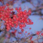 Rognebær fra Øfstigrenda i slutten av oktober .