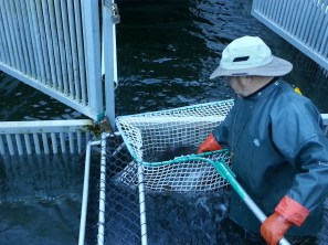Catching salmon in nets to transfer to pens
