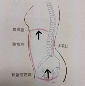 横隔膜、骨盤底筋動きの図