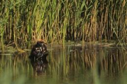 Bruine kiekendief neemt bad