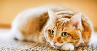 如果貓咪得到糖尿病了怎麼辦?