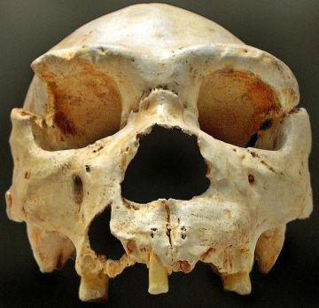 620px-Homo_heidelbergensis-Cranium_-5