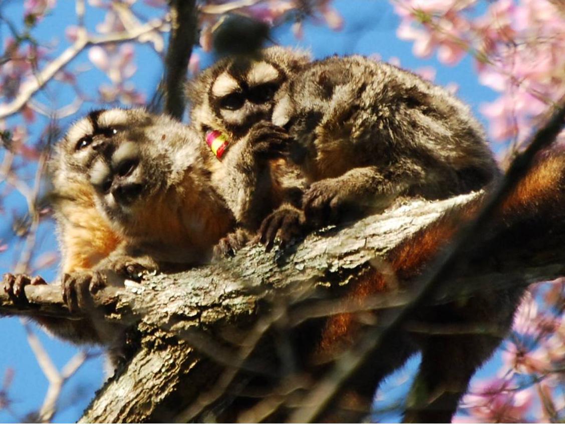 Owl Monkey 5 thumbnail