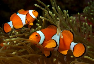 Amphiprion_ocellaris_(Clown_anemonefish)_PNG_by_Nick_Hobgood