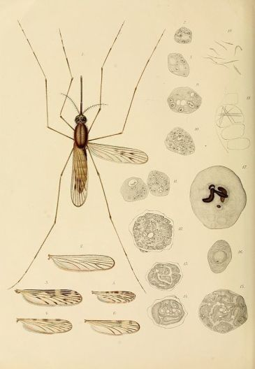 623px-Studi_di_uno_zoologo_sulla_malaria_plate5a