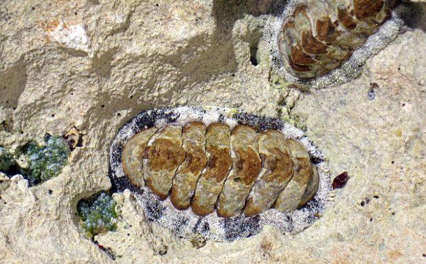 Acanthopleura_granulata_(West_Indian_fuzzy_chitons)_(San_Salvador_Island,_Bahamas)_1_(16131898481)