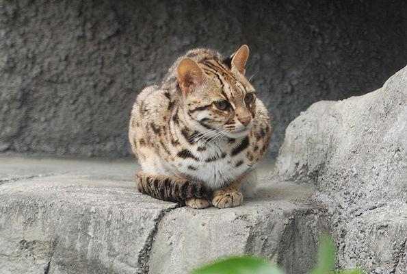 800px-Leopard_Cat_Tennoji
