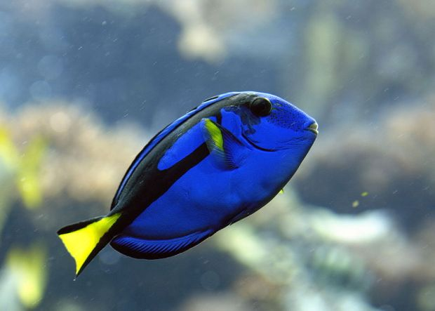 pesce chirurgo blu dory