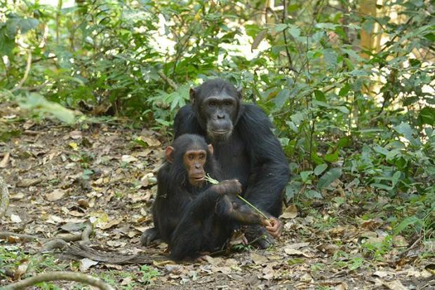 scimpanzé padre cucciolo socialità