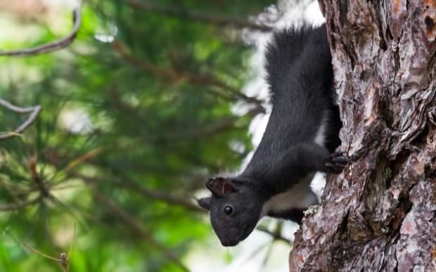 scoiattolo-nero-calabrese-630x360