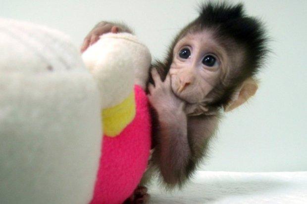 macaco scimmia clonata Cina
