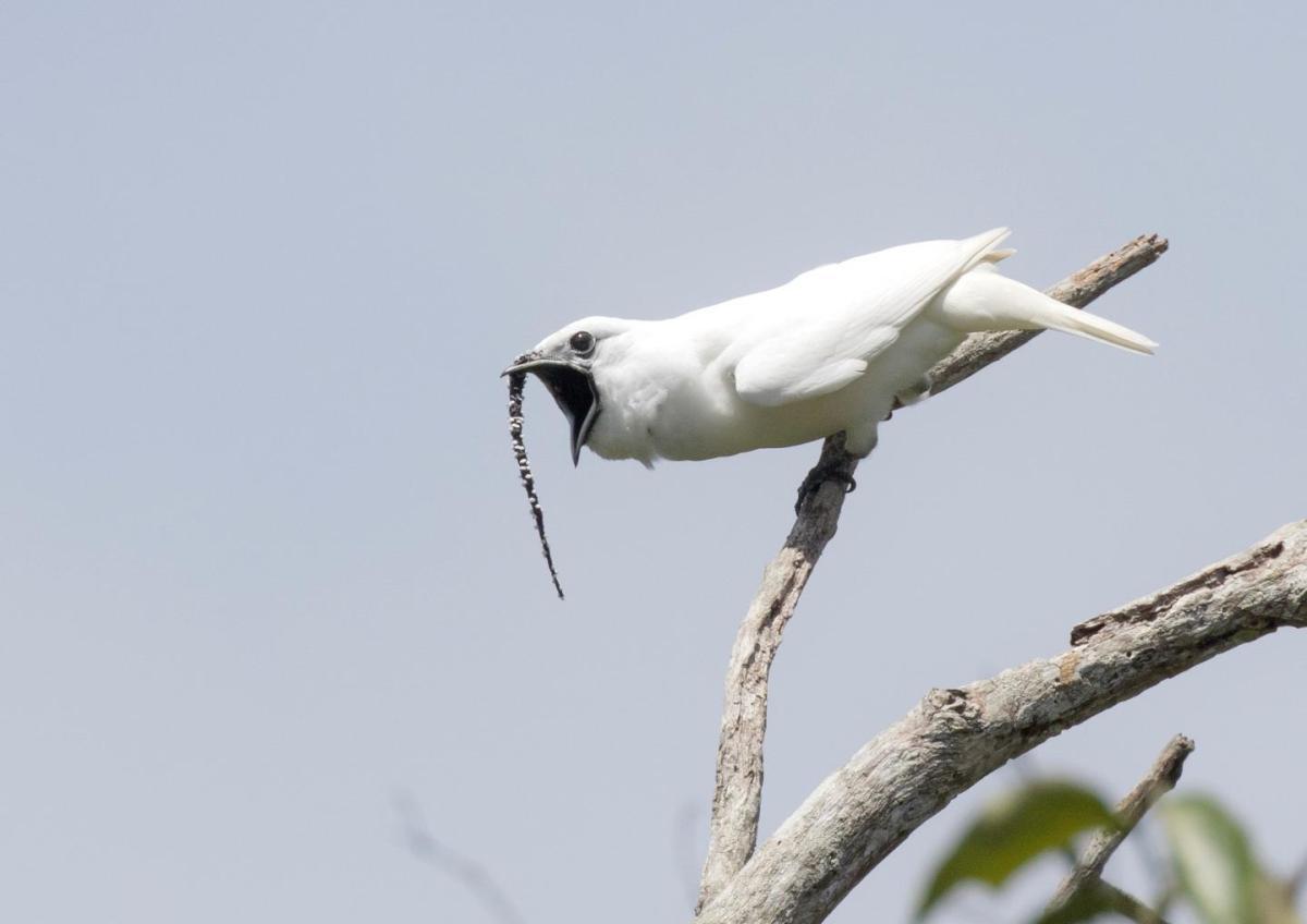campanaro bianco