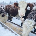 Heifers eating grain at trough on BC cattle ranch