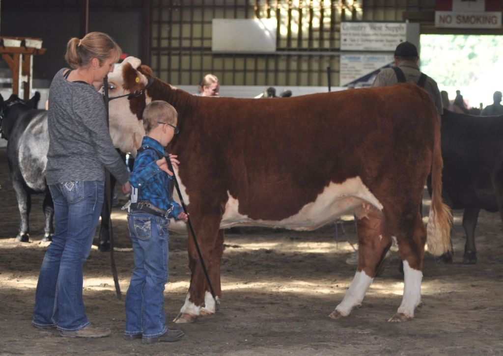 Mom and Son Showing a Hereford Heifer at a Cattle Show