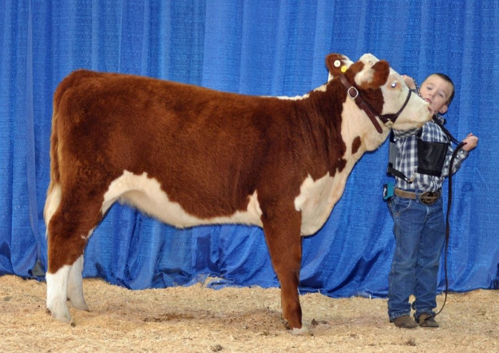 Youth Showing Hereford Calf