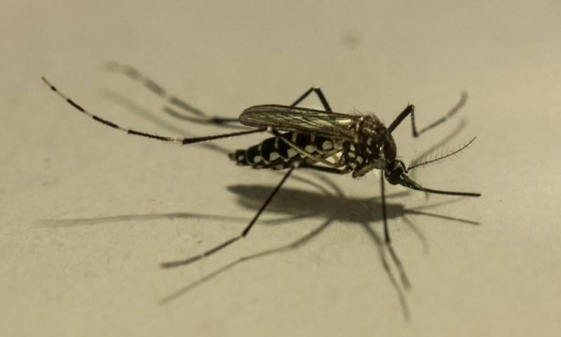 O mosquito Aedes aegypt é o vetor de dengue, febre amarela, zika e chicungunha. Foto: Brenno Carvalho / Agência O Globo