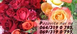 Najveći izbor sorti ruža u Srbiji