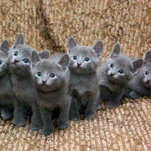 Modri ruski mačji mladiči naprodaj