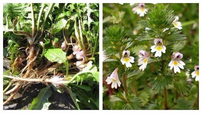 травы для лечения ячменя