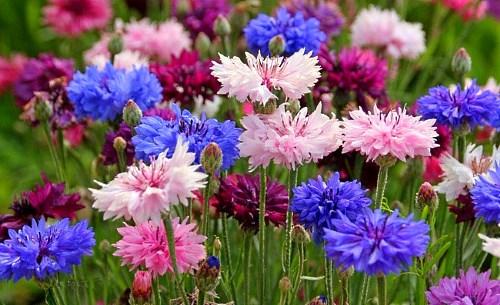 Цветы для дачи цветущие все лето: фото с названием