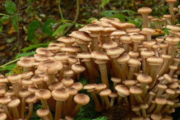 Грибы съедобные: фото грибов с названиями, описание ...