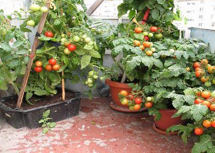 Помидоры Балконное чудо: как выращивать, отзывы ...