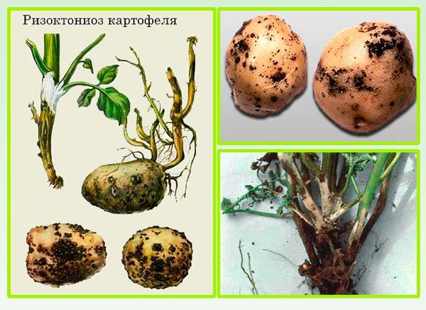 Курчавость картофеля, листьев, ботвы: меры борьбы, лечение ...