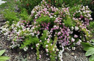 кустарник с зелёными листьями и розовыми цветками