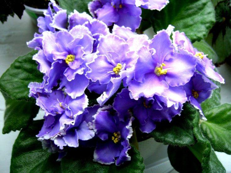 темносиние цветки фиалки