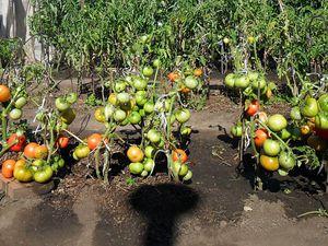 Как укрыть помидоры если нет парника. Помидоры как ухаживать в открытом грунте