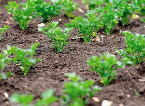 Посадка зелени весной в открытый грунт