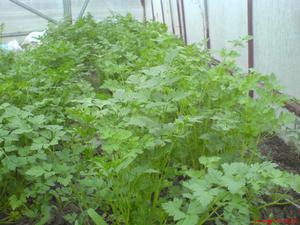 Főzetek és infúziók prosztatagyulladásra - Növények a prosztatitis elleni küzdelemben
