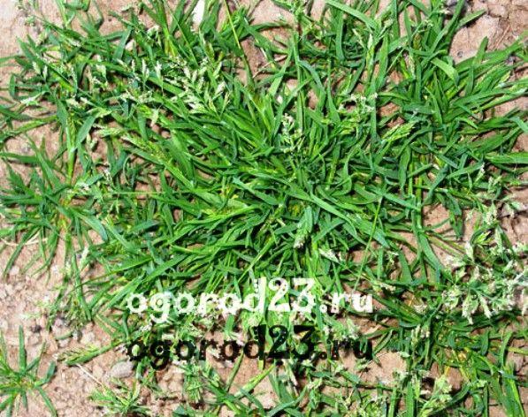 Картинки сорняки в огороде названия с фото / picpool.ru