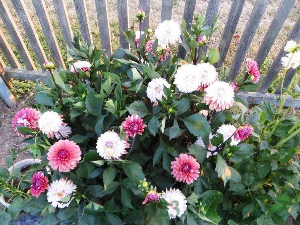Dahlia Adalah Bunga Indah Musim Gugur