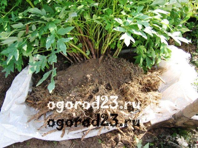 Размножение пионов семенами в домашних