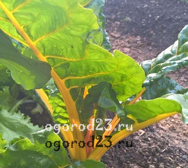 Мангольд выращивание и уход. Выращивание мангольда из семян, уход и особенности сбора урожая