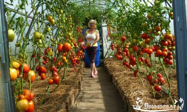 Высокорослые помидоры - посадка, уход, подкормки