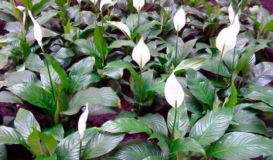 spathiphyllum berbunga besar