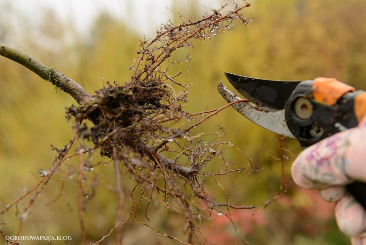 sadzonki z gołym korzeniem