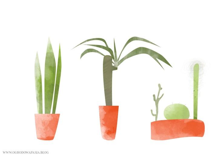sansewieria juka kaktusy