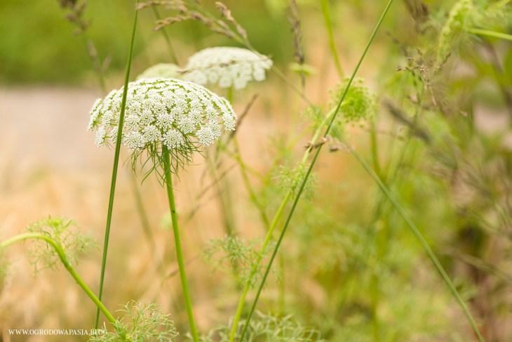 ammi plant