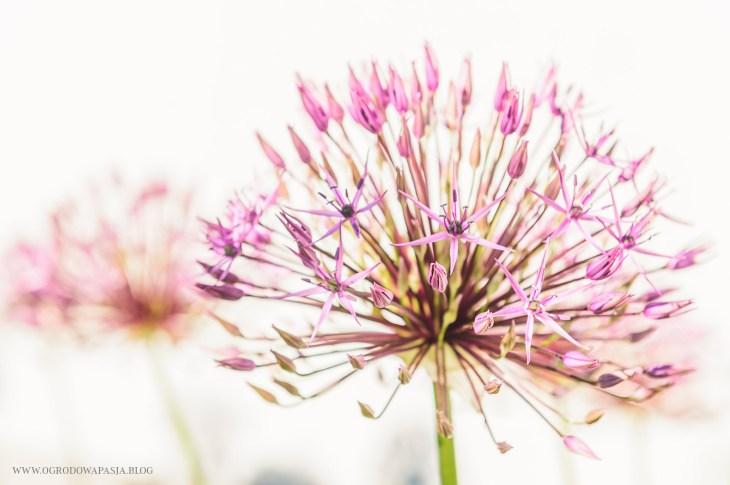 allium purple rain czosnek