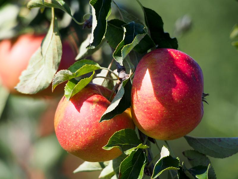 Apfel Mairac